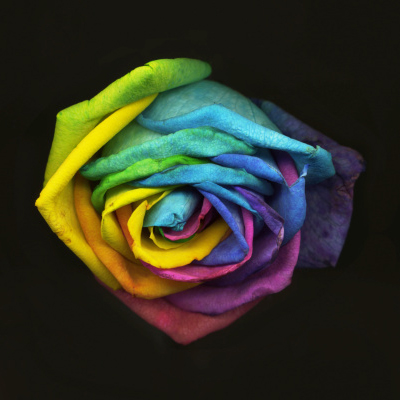 rose of colour
